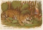 Tiger, Felis Tigris L.