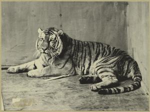 [Tiger.]
