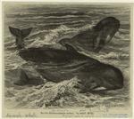 Grind (Globiocephalus Melas).