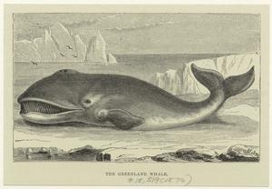 The Greenland whale.