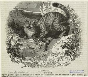 Le chat sauvage.
