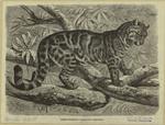 Rimau-Dahan -- Leopardus Macrocelus.