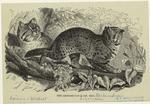 The Leopard-Cat.