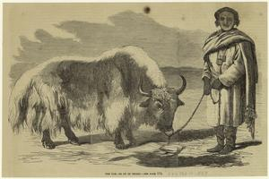 The yak, or ox of Thibet.