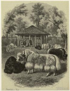 [Yaks and their caretakers.]