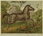 [Zebra galloping.]