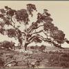 Abraham's Oak at Hebron, Palestine