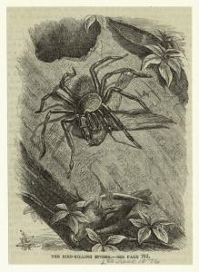 The bird-killing spider.