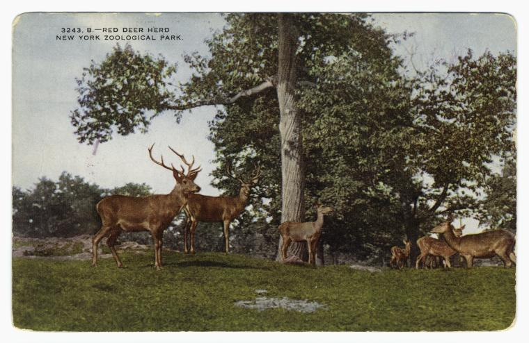 Red deer herd.  New York Zoological Park.