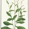 Nicotiae Plumbaginifoliae
