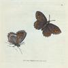 Papilio Blandina. [Class 5. Insecta]