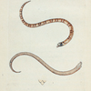 Coluber Dumfrisiensis. (Dumfriesshire Snake) [Class 3. Amphibia]