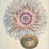 Actinia equina. [Class 6. Vermes, Order 2. Mollusca]