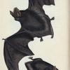 Vespertilio Barbastellus. [Class 1. Mammalia,  Order 1. Primates]
