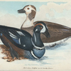 Anas historionica. (Harlequin Duck). [Class 3. Aves, Order 3. Anseres]