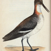 Phalaropus Hyperboreus. (Red-necked Phalarope, or Coot-footed Tringa) [Class 2. Aves; Order 18. Pinnatipedes]