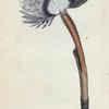 Amphitrite Ventilabrum. [Class 6. Vermes; Order 2. Mollusca]