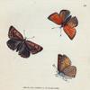 Papilio Chryseis. [Class 5. Insecta; Order 3. Lipidoptera]