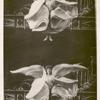 Double photograph of Loie Fuller waving her voluminous costume in wing shapes.