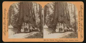 The Wawona Tree, Mariposa Grove, Yosemite Valley, Cal. U.S.A.