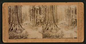Big trees and cabin, Mariposa Grove, Cal.