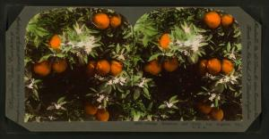 Orange Blossoms and Fruit, Los Angeles, Cal., U.S.A.