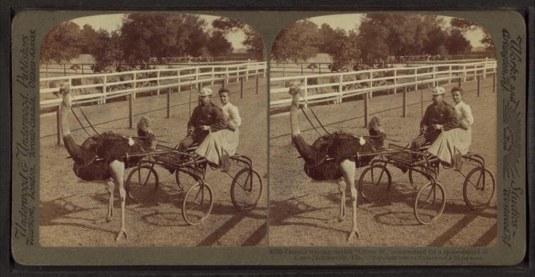 """Famous trotting ostrich """"Oliver, W."""" -- harnessed for a spin -- record of 2.02 -- Jacksonville, Fla."""