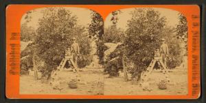 [Men working at the orange grove.]