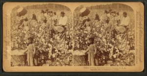 Cotton is king - A plantation scene, Georgia.
