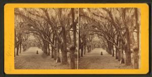 [Live Oak Avenue, Bonaventure Cemetery, Savannah, Ga.]