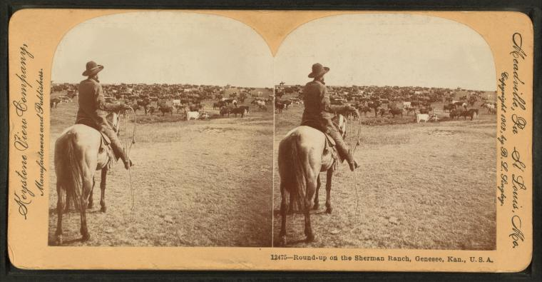 Round-up on the Sherman ranch, Geneseo, Kansas, U.S.A.
