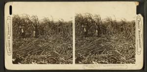 Cutting the cane on a sugar plantation near New Orleans, Louisiana, U.S.A.