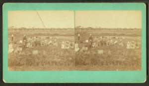 [View of a group picking cranberries.]