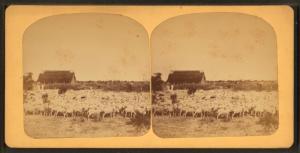 Sheep Ranch near the Pinto River, Texas.