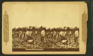 The cotton fields of the south. [Men picking cotton.]