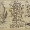 Bananas siue Ananas fructus ... ; Papas Indorum ... ; Radix castanea quam ....