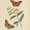 Papilio Archippus, Asclepias Curassavica.