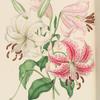 Lillium speciosum.  1. Atrococcineum, 2. Album.