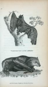 Vampyre Bat in two attitudes.