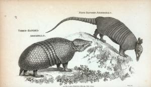 Three-banded Armadillo; Nine-banded Armadillo.