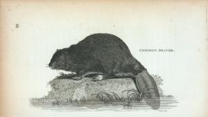 Common Beaver.
