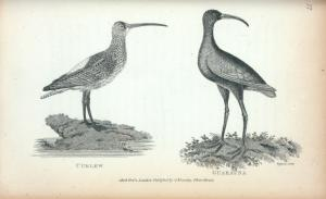 Curlew; Guarauna.